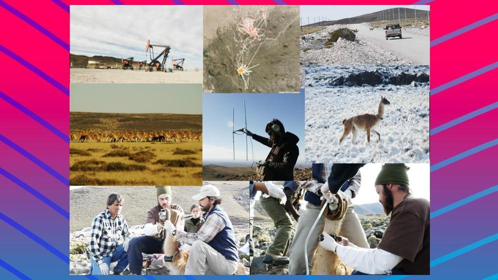 Investigadores del CONICET participan de la primera iniciativa internacional para el mapeo de las migraciones de ungulados