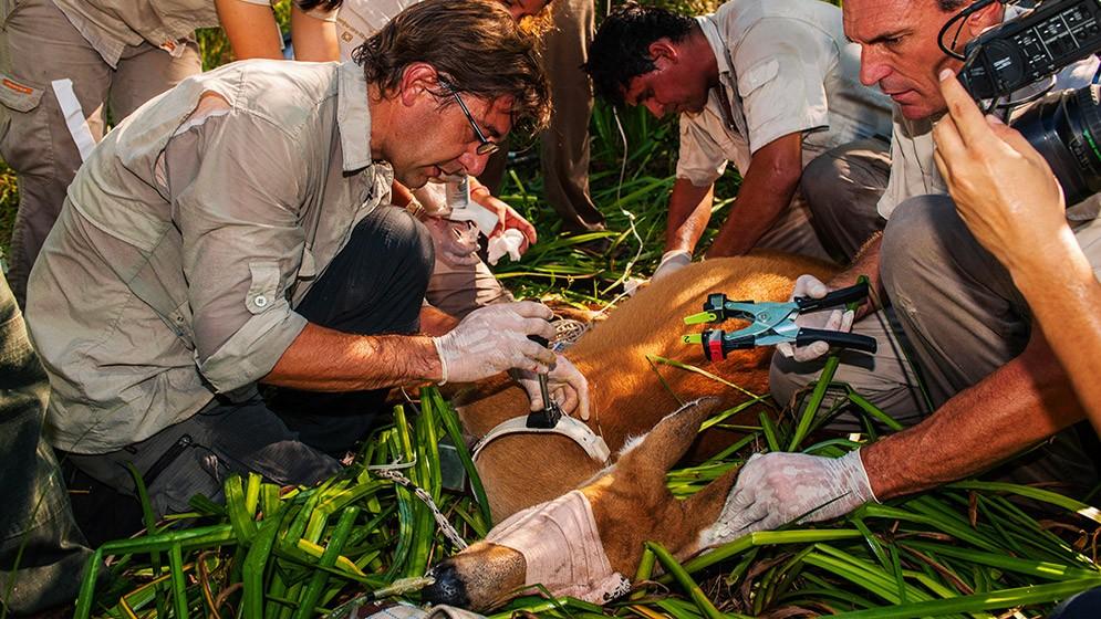 Una iniciativa que preserva al ciervo de los pantanos, una especie amenazada del Delta del Paraná