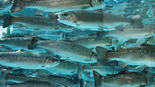 Newsan anuncia inversiones para el desarrollo acuícola de trucha