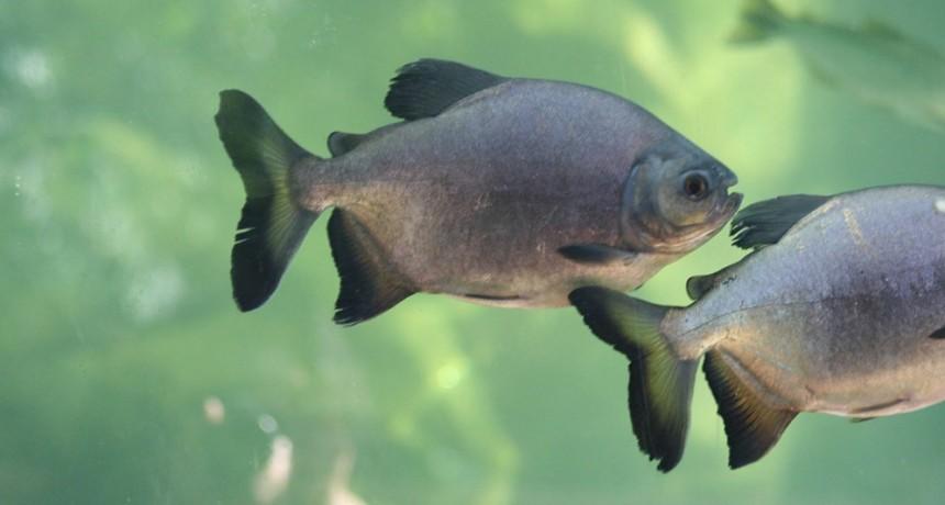 Estudian las poblaciones de los principales peces del río Paraná